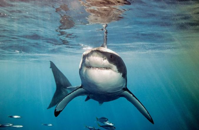 great white shark at guadalupe island