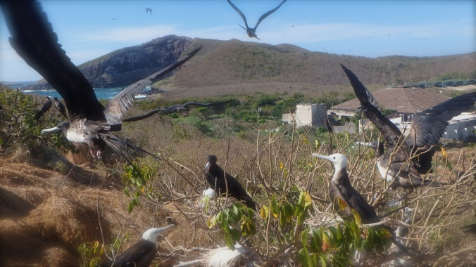 Isla Isabel protects the largest population of nesting Frigate birds in Mexico