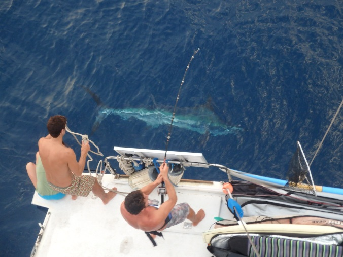 Our largest catch (and release), a 300+ pound marlin!