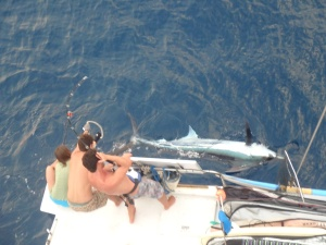 Marlin struggle, as seen from the mast. We had a tough time removing the hook safely from this large a fish.