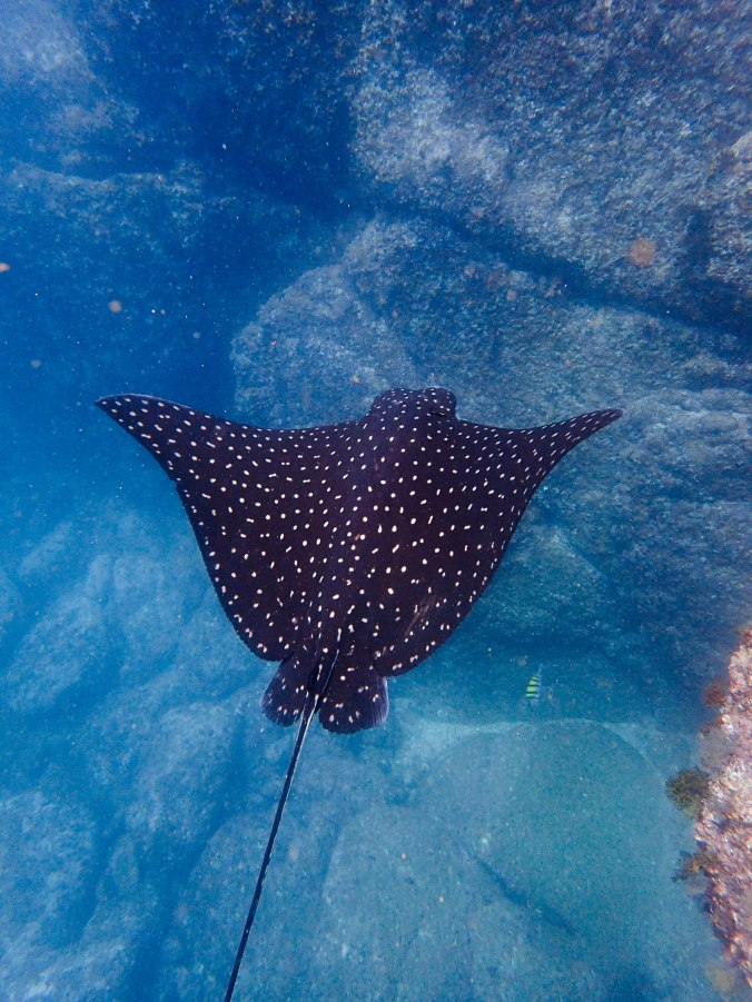 A beautiful spotted eagle ray glided by us!