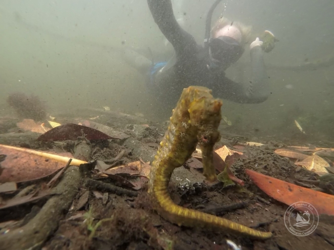 Pacific Seahorse habitat in the mangroves of Los Tunnels, Isla Isabela