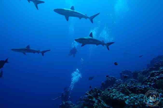 Fakarava shark wall-08241sm
